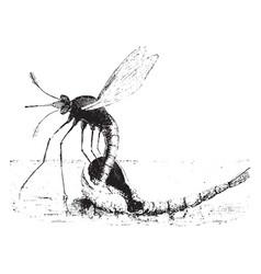 Mosquito vintage vector