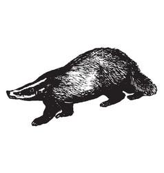 Badger vintage vector