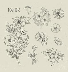 dog rose medical botanical isolated vector image vector image