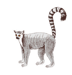 Hand drawn lemur isolated on white background vector