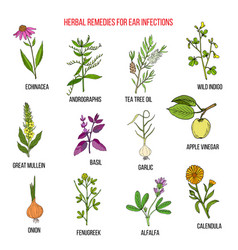Best medicinal herbs for ear infections vector
