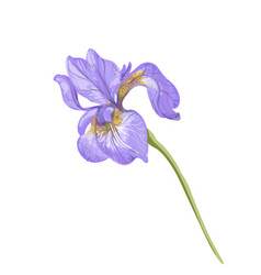 Vintage beautiful tender violet iris hand vector