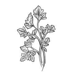 Cilantro parsley herb sketch engraving vector