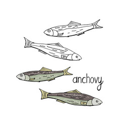 hand drawn fish anchovy black and white and color vector image