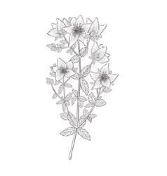 Herbal tea plant sketch shrubst johns wort or vector