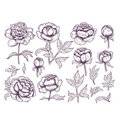 peonies doodle leaves and buds floral pictures vector image