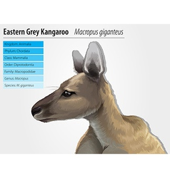 Eastern grey kangaroo vector
