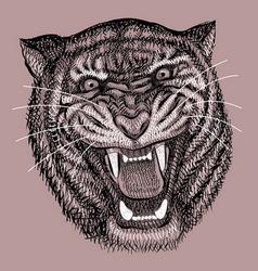 Tiger drawing vector