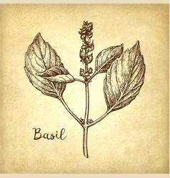 Basil ink sketch vector