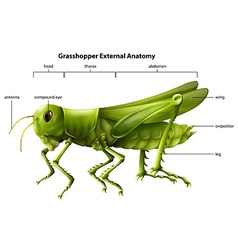 External anatomy of a grasshopper vector