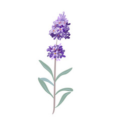 lavender flowers on a white background vector image