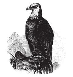 Bald eagle vintage vector