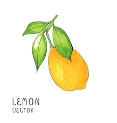 Lemon tree branch watercolor painting on white vector image vector image