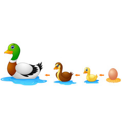 Life cycle a duck vector
