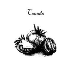 hand drawn vintage isolated tomato vector image vector image