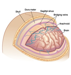 Human Brain Layers vector image