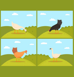 Chicken eating grass on pasture goose and hen vector