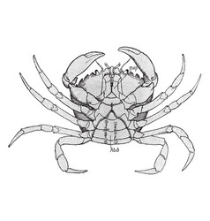 Female shore crab vintage vector