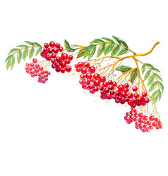 Composition with rowanberry branch vector