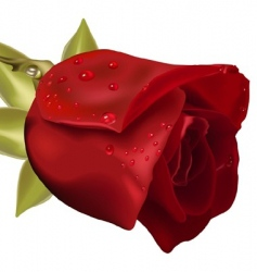 rose with raindrops vector image