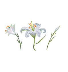 with white lily flowers in different vector image
