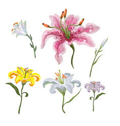 colorful of lilies flower on white background vector image
