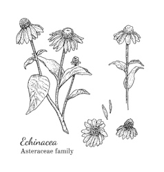 Ink echinacea hand drawn sketch vector image