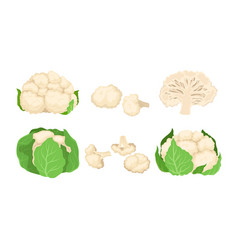 Cauliflower cabbage with separated florets vector