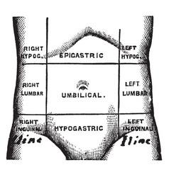 Regions of the abdomen vintage vector