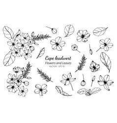 Collection set of cape leadwort flower and leaves vector