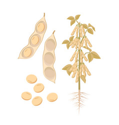 Ripe soybean plant with open pods and seeds vector