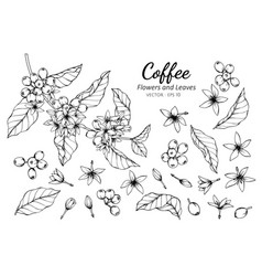 Collection set of coffee flower and leaves vector