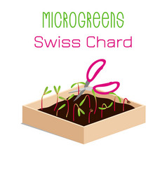 Microgreens swiss chard sprouts in a bowl vector