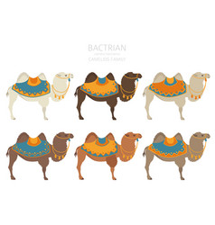 Camelids family collection bactrian camel vector