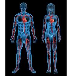 Circulatory system of a human vector image
