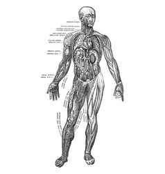 Muscles and blood vessels vintage vector
