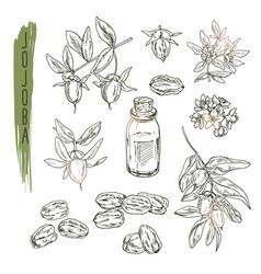 set of jojoba elements realistic sketch of vector image vector image