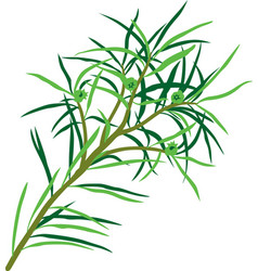 tea tree vector image