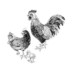 hand drawn rooster hen and chicken vector image