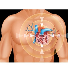 Human heart in close up diagram vector image vector image