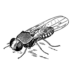 Drosophila vector image