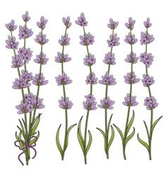 Sprigs lavender vector