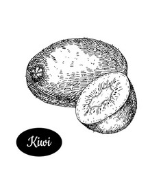 Hand drawn sketch style fresh kiwi vector