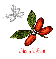 Miracle fruit green branch sketch exotic berry vector