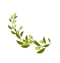 Fresh Green Olives on A Branch on White Background vector