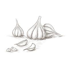 Hand drawn garlics vector