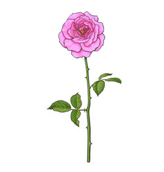 pink rose flower with green leaves and long stem vector image