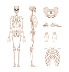 human skeleton in different vector image vector image