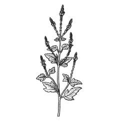 Hand drawn verbena officinalis leaves vector