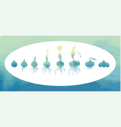 Life cycle of bulbous plants vector